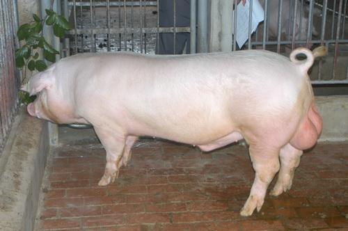 中央畜產會201310期L0905-10體型-全身相片