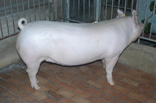 中央畜產會201310期Y1181-06體型-全身相片