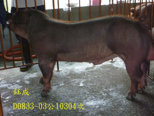台灣區種豬產業協會10304期D0833-03側面相片