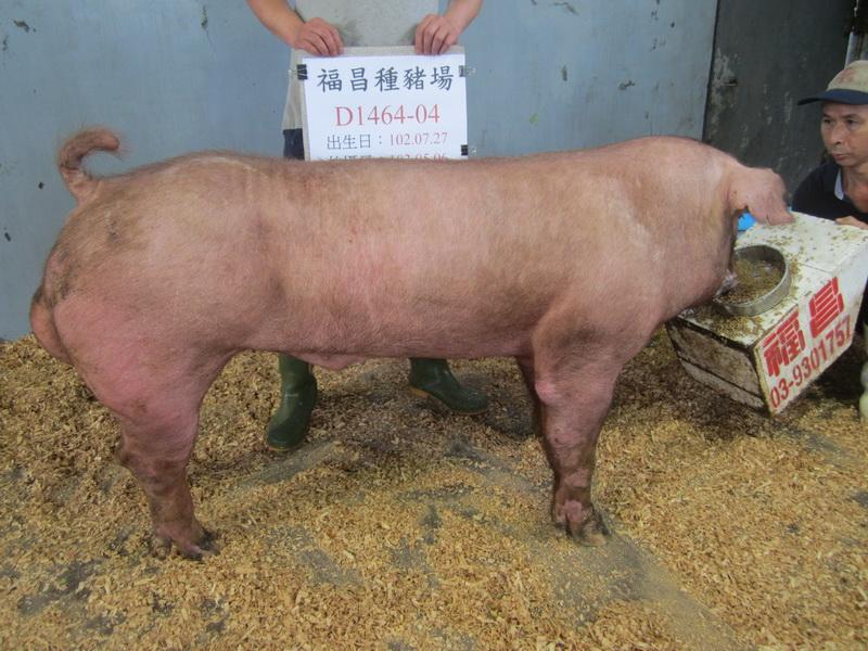 台灣區種豬產業協會10304期D1464-04側面相片