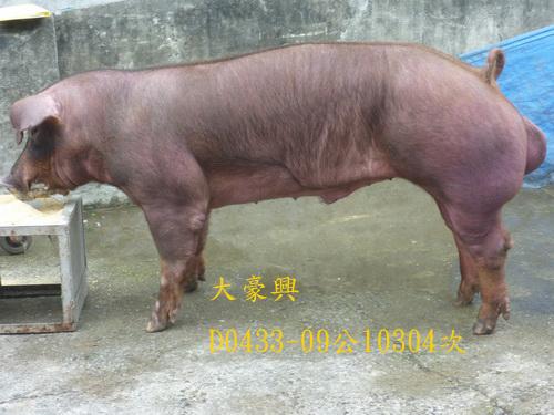 台灣區種豬產業協會10304期D0433-09側面相片