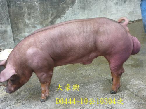 台灣區種豬產業協會10304期D0444-10側面相片