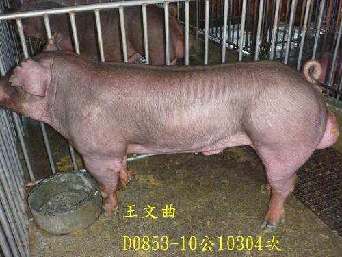 台灣區種豬產業協會10304期D0853-10側面相片