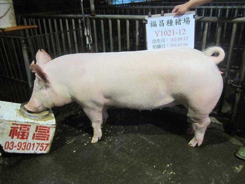 台灣區種豬產業協會10304期Y1021-12側面相片