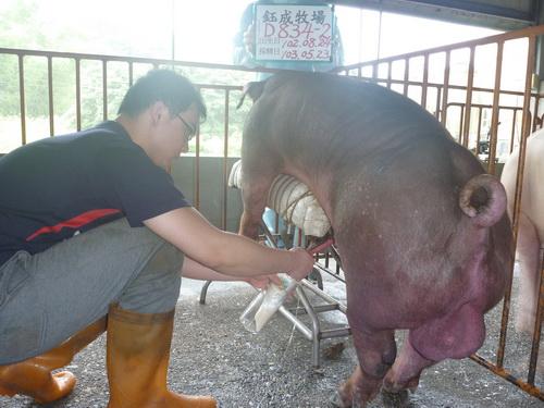 台灣區種豬產業協會10305期D0834-02採精相片