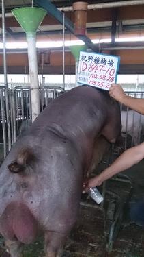台灣區種豬產業協會10305期D0847-10採精相片