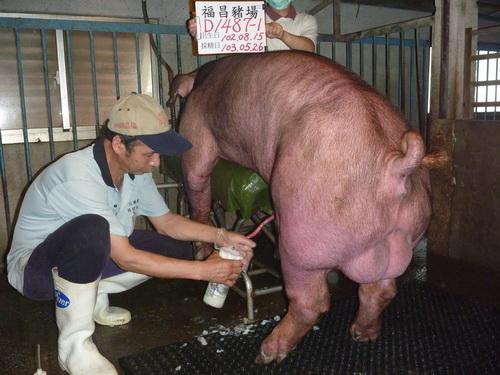 台灣區種豬產業協會10305期D1487-01採精相片