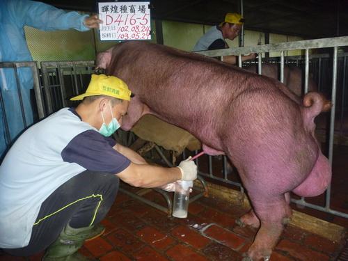台灣區種豬產業協會10305期D0416-05採精相片