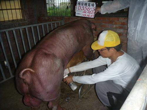 台灣區種豬產業協會10305期D0356-03採精相片