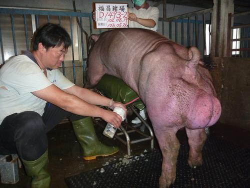 台灣區種豬產業協會10305期D1493-02採精相片