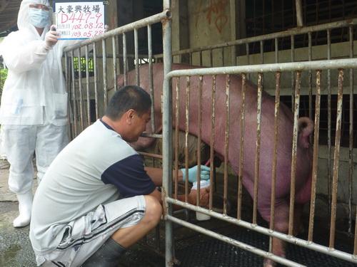 台灣區種豬產業協會10305期D0447-09採精相片