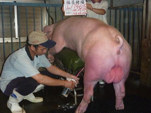 台灣區種豬產業協會10305期L1746-05側面相片