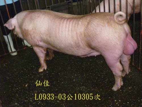 台灣區種豬產業協會10305期L0933-03側面相片
