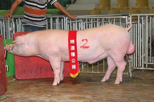 台灣區種豬產業協會10305期L1746-05拍賣相片(高價豬)