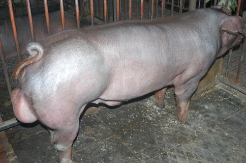 中央畜產會201311期D0436-06體型-全身相片