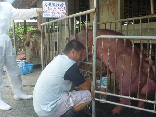 台灣區種豬產業協會10306期D0451-10採精相片