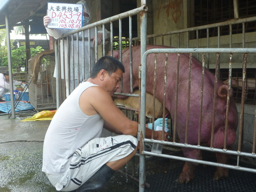 台灣區種豬產業協會10307期D0453-09採精相片