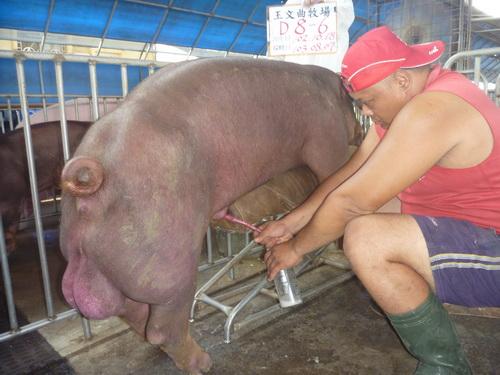 台灣區種豬產業協會10307期D0008-06採精相片
