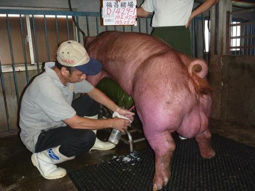 台灣區種豬產業協會10307期D1429-01採精相片