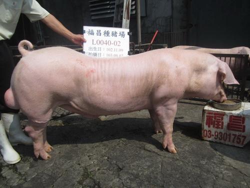 台灣區種豬產業協會10307期L0040-02側面相片