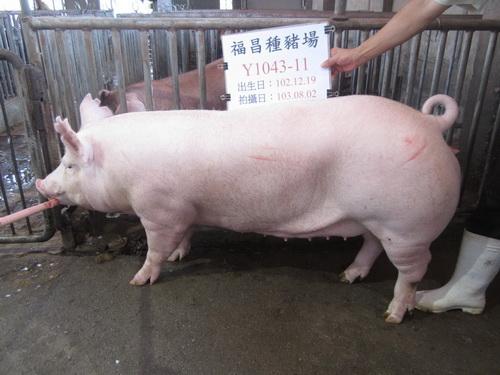 台灣區種豬產業協會10307期Y1043-11側面相片