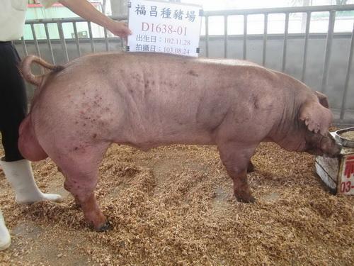 台灣區種豬產業協會10307期D1638-01側面相片