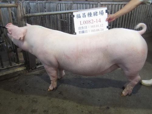 台灣區種豬產業協會場內檢定103T1次L0082-14拍賣影片