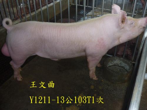 台灣區種豬產業協會場內檢定103T1次Y1211-13側面相片