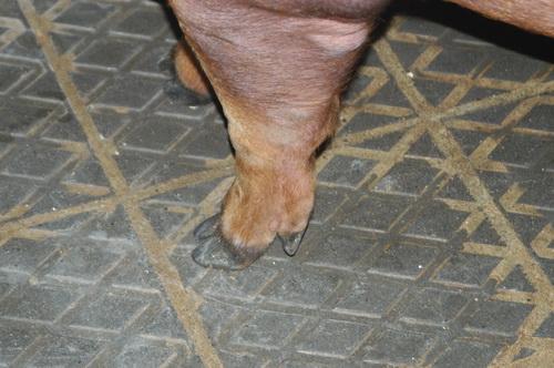 中央畜產會201401期D0981-13體型-四肢相片