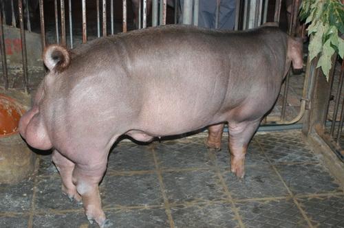 中央畜產會201401期D0894-10體型-全身照片