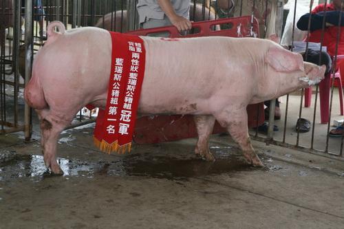 台灣區種豬產業協會10307期L0040-02拍賣相片(高價豬)