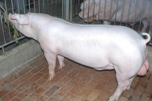 中央畜產會201401期L0063-06體型-全身照片