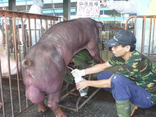 台灣區種豬產業協會10308期D0973-10採精相片