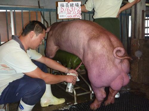 台灣區種豬產業協會10308期D1631-02採精相片