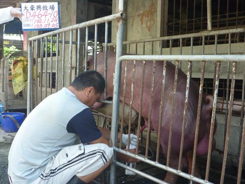 台灣區種豬產業協會10308期D0464-10採精相片
