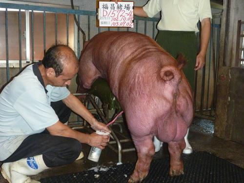 台灣區種豬產業協會10308期D1572-04採精相片