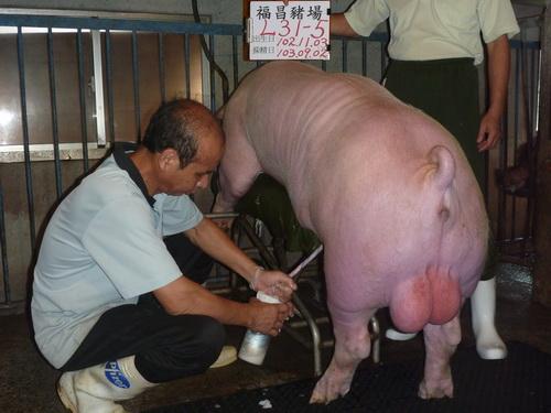 台灣區種豬產業協會10308期L0031-05採精相片