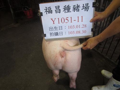 台灣區種豬產業協會10308期Y1051-11採精相片