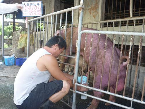 台灣區種豬產業協會10309期D0470-11採精相片