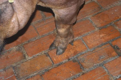 中央畜產會201403期D0287-03體型-四肢相片