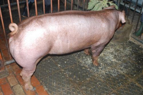 中央畜產會201403期D1026-11體型-全身照片