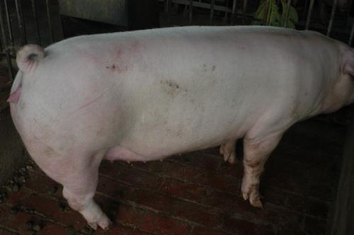 中央畜產會201403期L0581-04體型-全身照片