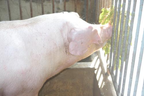 中央畜產會201403期L1236-13體型-頭頸相片
