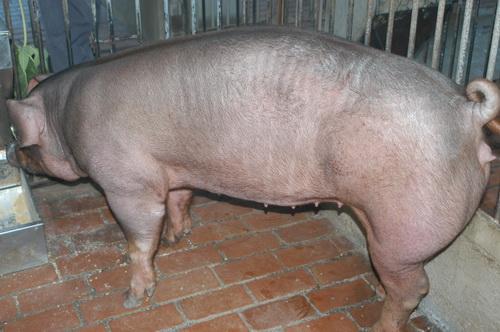 中央畜產會201404期D1056-10體型-全身照片