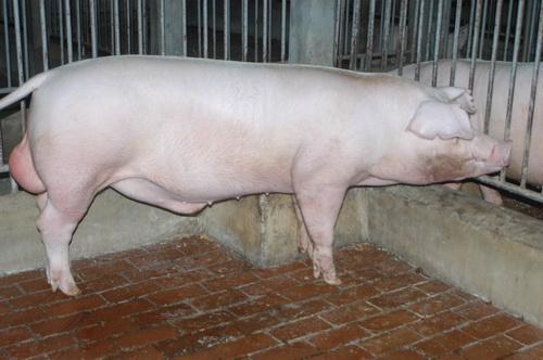 中央畜產會201404期L0289-09體型-全身照片