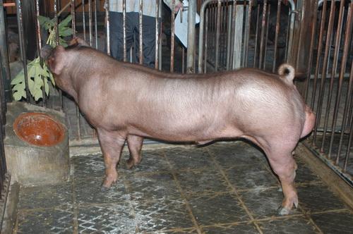 中央畜產會201407期D1139-03體型-全身照片