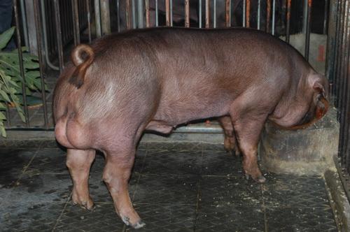 中央畜產會201407期D0105-01體型-全身照片