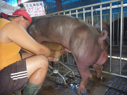 台灣區種豬產業協會10310期D0916-07採精相片