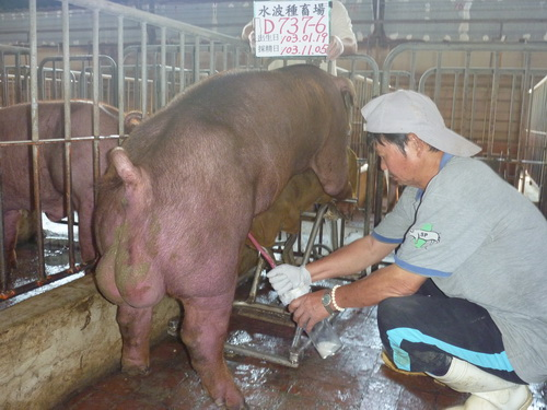 台灣區種豬產業協會10310期D0737-06採精相片
