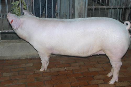 中央畜產會201407期L1137-12體型-全身照片